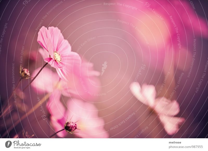 Nature Plant Beautiful Relaxation Flower Yellow Autumn Blossom Garden Brown Pink Dream Growth Elegant Contentment Illuminate