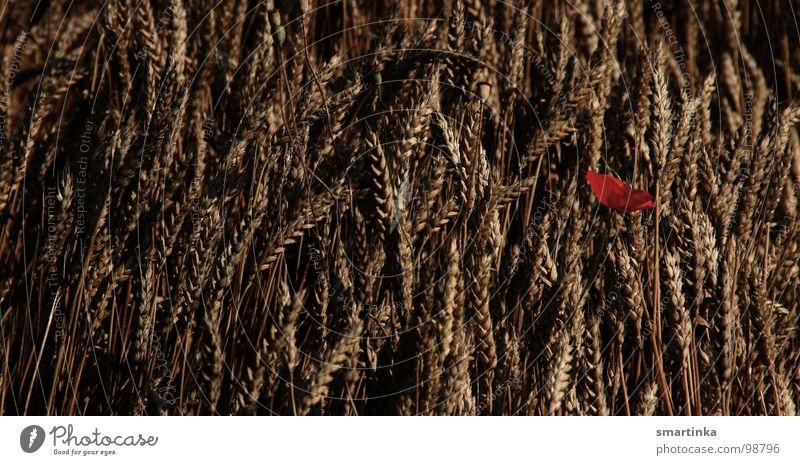 Plant Summer Loneliness Meadow Field Transience Grain Poppy Grain
