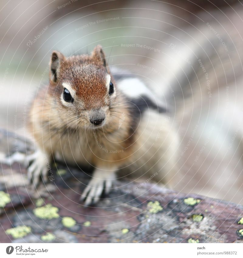 Good morning Tree Animal Wild animal Animal face Pelt Claw Paw Eastern American Chipmunk squirrel Rodent 1 Observe Brash Cute Brown Subdued colour Exterior shot