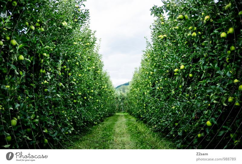 Apples over apples Fruit Environment Nature Landscape Summer Beautiful weather Plant Tree Bushes Fresh Healthy Sustainability Natural Green Relaxation Idyll