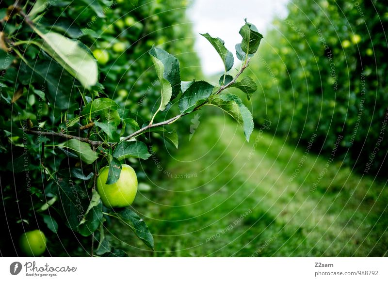 South Tyrolean apples Food Fruit Apple Environment Nature Landscape Summer Beautiful weather Plant Bushes Fresh Healthy Natural Idyll Sustainability Network