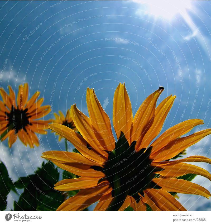 Sky Sun Flower Green Blue Summer Yellow Blossom Garden Upward
