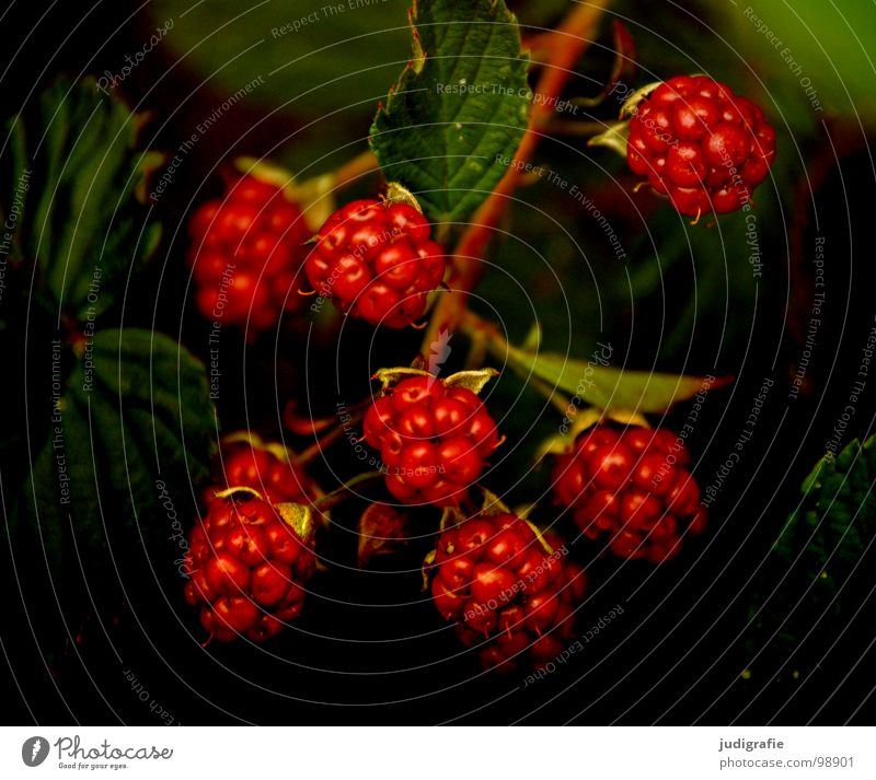 Nature Plant Red Summer Colour Fruit Bushes Tea Delicious Vitamin Berries Thorny Vegetarian diet Creeper Flower Blueberry