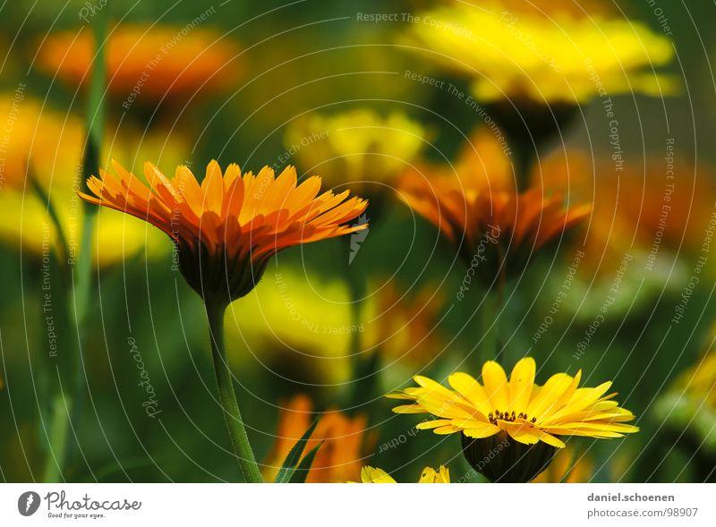 Nature Flower Green Summer Yellow Blossom Garden Orange Cosmetics Ecological Marigold Medicinal plant