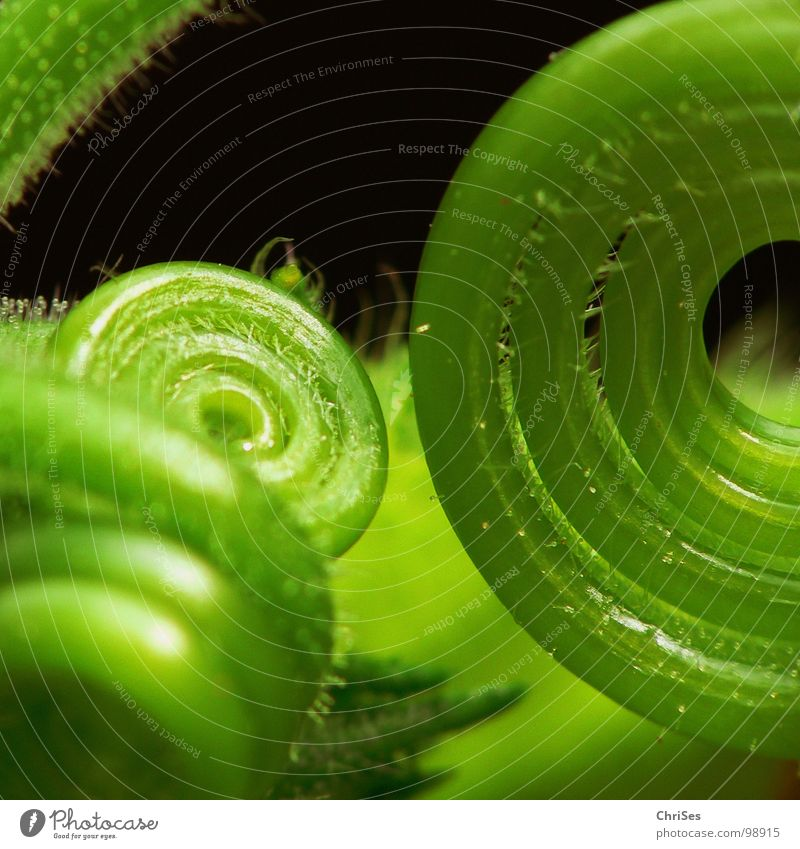 Green Plant Black Spiral Bud Botany Coil Pumpkin Tendril Loop Creeper Rolled Light green