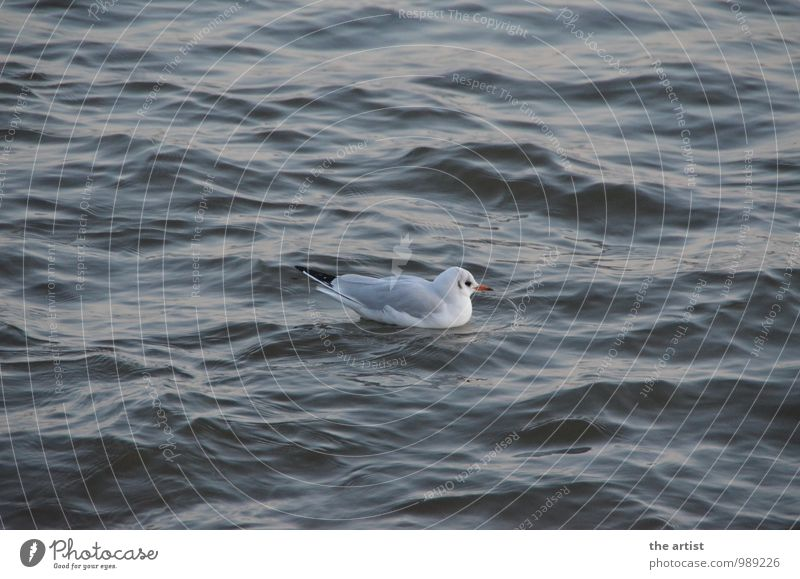 Seagull floats Water Animal Gull birds Swimming & Bathing Center point Colour photo Exterior shot