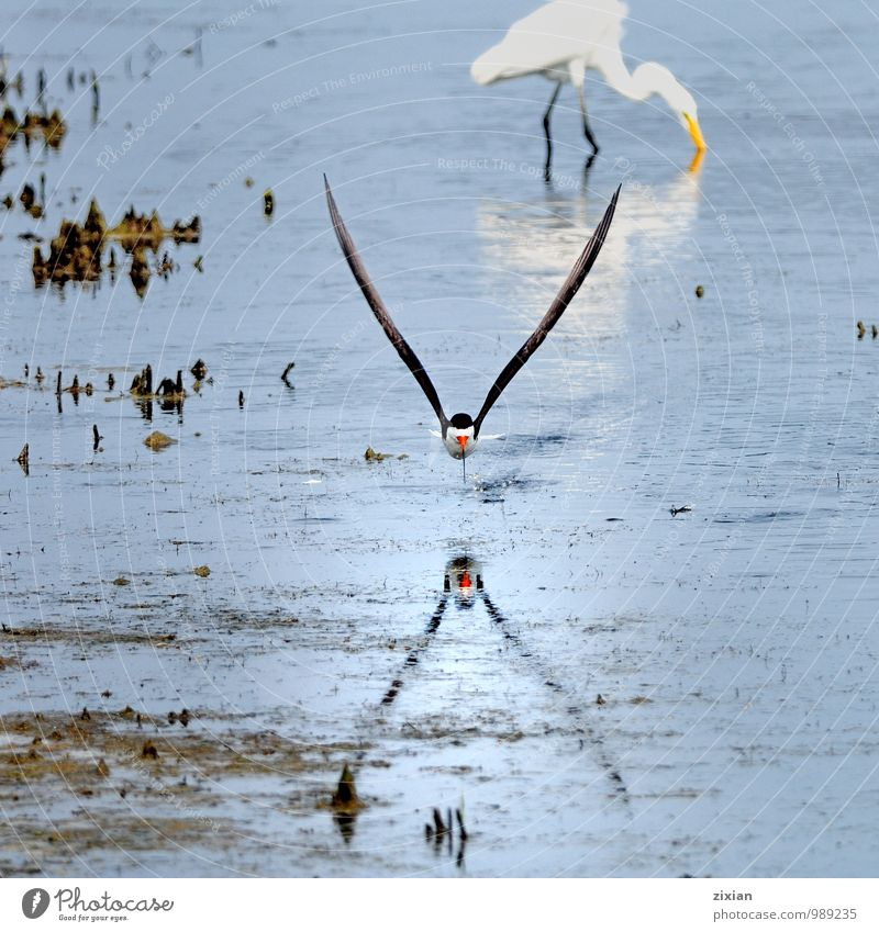 black skimmer Animal Wild animal Bird Fly 2 Leather Water Movement Eating Catch Flying Going Hunting Fight Elegant Beautiful Natural Thin Speed Athletic Strong