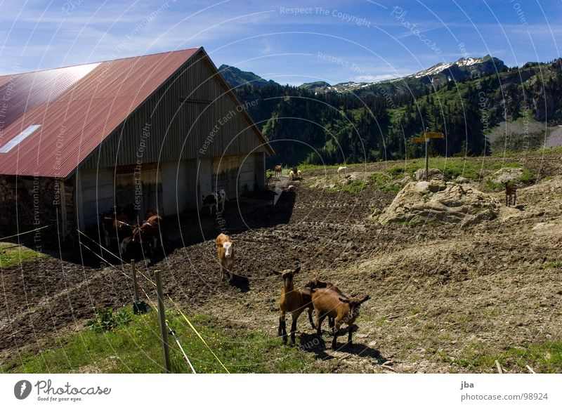 uf de Alpe oobe ischs nes Herrlechs lääbe! Mountain Alpine pasture Steep Meadow Grass Fir tree Barn Remote Beautiful Goats Calf Hiking Footpath Roof Rear side