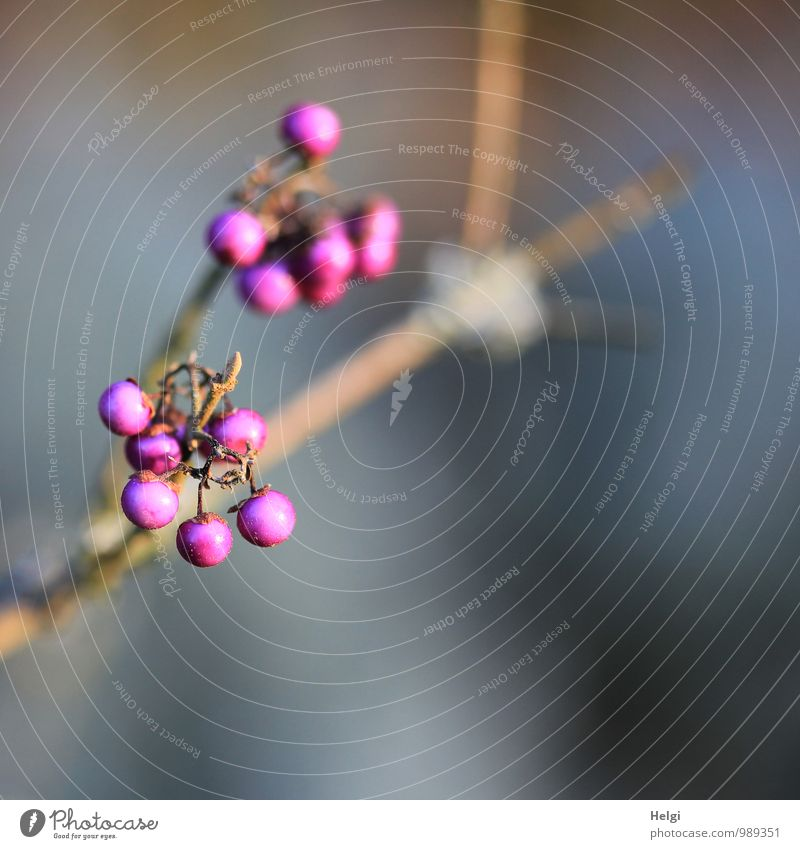 love-bead Environment Nature Plant Autumn Beautiful weather Bushes Seed head Twig Park Hang Growth Esthetic Exceptional Simple Uniqueness Small Natural Round