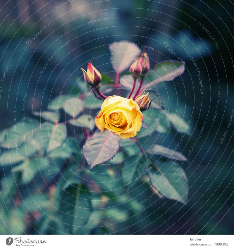 The Rose Nature Plant Leaf Blossom Garden Park Yellow Green Orange Colour photo Exterior shot Deserted Shallow depth of field