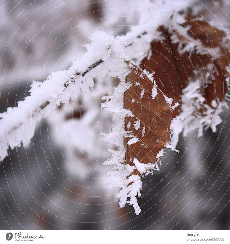 Icy times: Leaves with ice crystals Environment Nature Plant Animal Water Winter Ice Frost Snow Snowfall Tree Bushes Leaf Foliage plant Forest Old Freeze