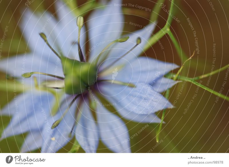 Blue Star Flower Blossom Blossoming Green Light blue Sky blue Pistil Star (Symbol) Colour photo