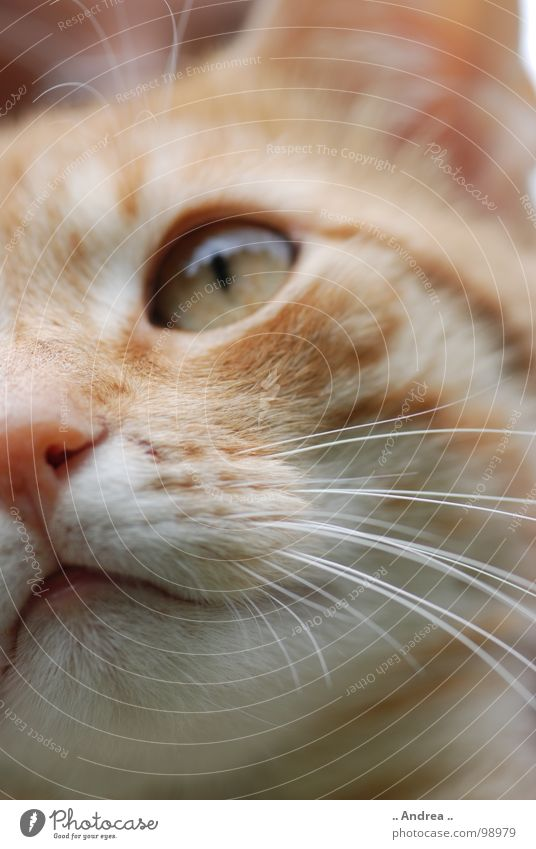 Red Tiger 2 Eyes Nose Cat Whisker Mammal Domestic cat Cat eyes mackerelled Colour photo