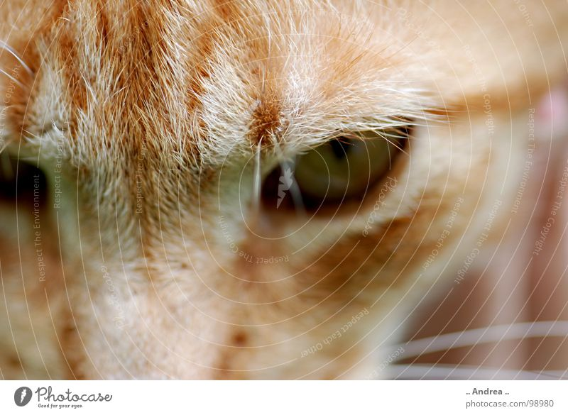 Red Tiger 3 Eyes Cat Mammal mackerelled Domestic cat Cat eyes Colour photo