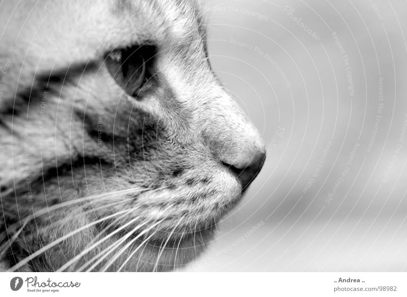 Tigi in profile Nose Mouth Cat Sit Whisker Mammal Cat eyes mackerelled Black & white photo Silhouette Profile