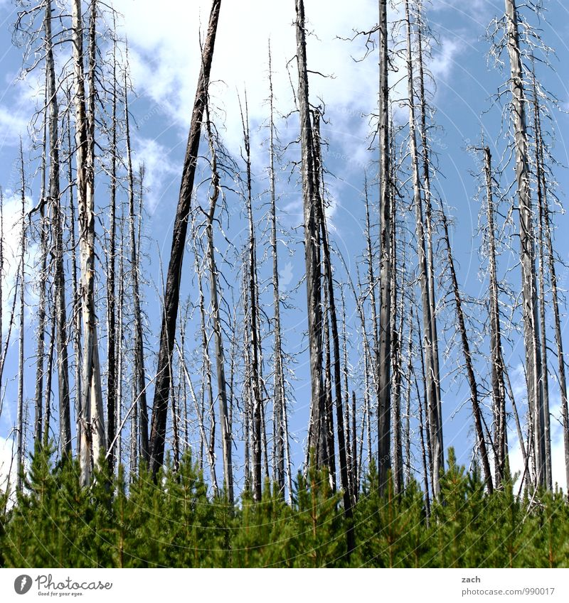 burnt Nature Fire Sky Clouds Summer Autumn Beautiful weather Drought Plant Tree Forest Forest death Coniferous trees Coniferous forest Virgin forest To dry up