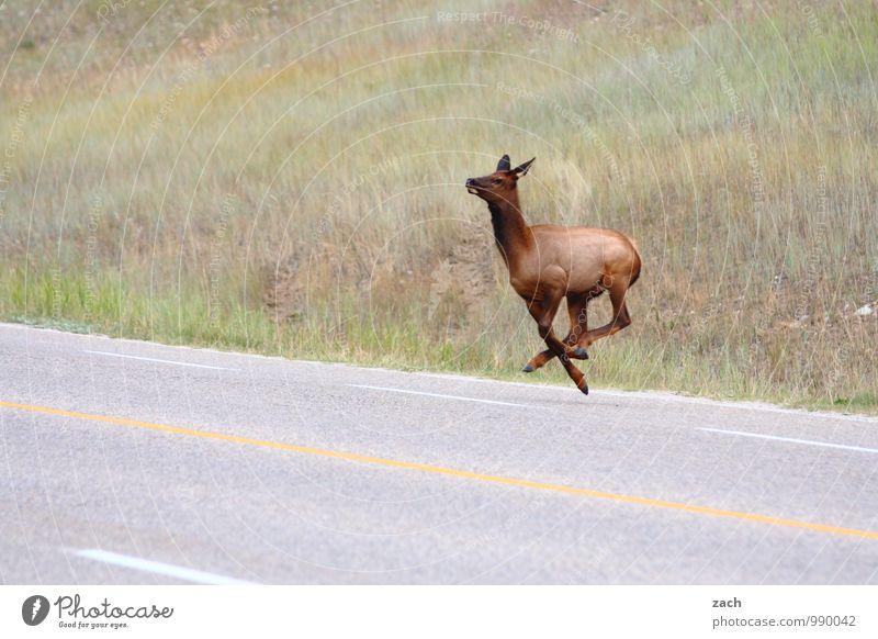 Animal Far-off places Mountain Street Meadow Grass Lanes & trails Gray Line Jump Fear Walking Speed Hill Pelt Running