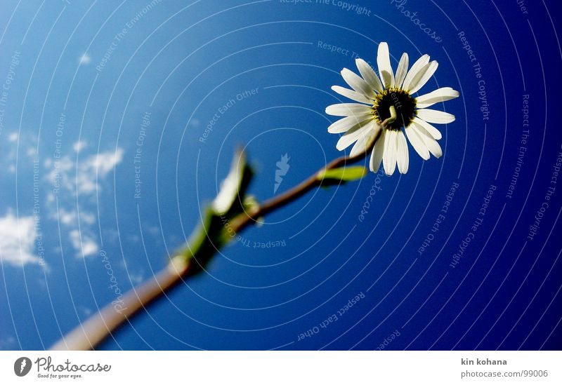 Sky White Flower Blue Clouds Life Blossom Bright Power Force Upward Diagonal Pride Vertical Marguerite Blossom leave
