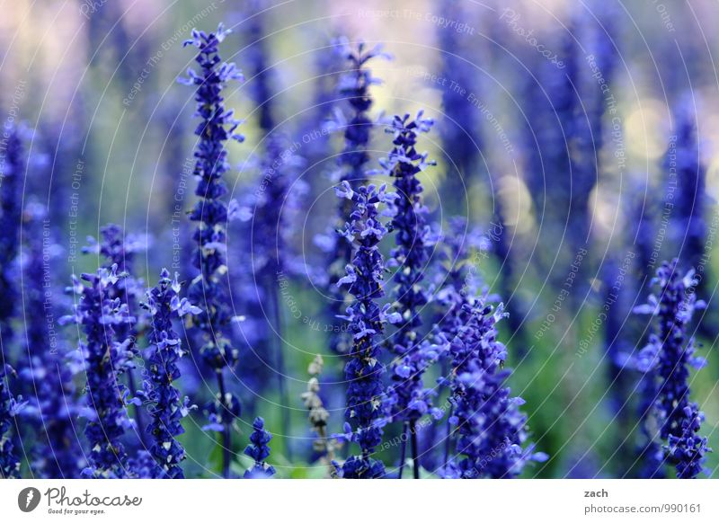 Blue, of course. Nature Plant Spring Summer Flower Grass Bushes Leaf Blossom Garden Park Meadow Blossoming Growth Violet Colour photo Exterior shot Deserted Day