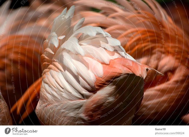 Nature Animal Legs Bird Pink Orange Elegant Feather Wing Delicate Africa Zoo Easy Flock Flamingo Berlin zoo