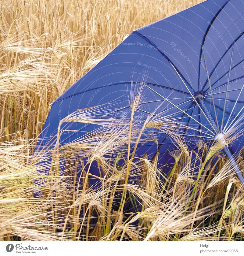 Blue umbrella lies in a cornfield with ripe barley Barley Sowing Seeds Blade of grass Stalk Field Agriculture Umbrella Shielded Door handle Rod Cloth Storm Wet