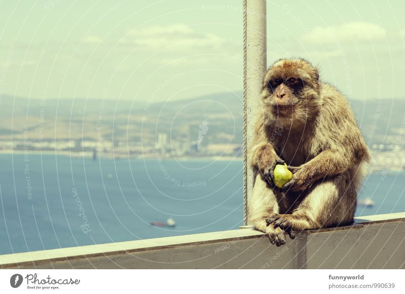 No, it's noon now! Summer Monkeys Barbary ape To hold on Sit Love of animals Pear Lunch Gibraltar Wild animal Pet Pelt Ocean Vantage point Think Mammal