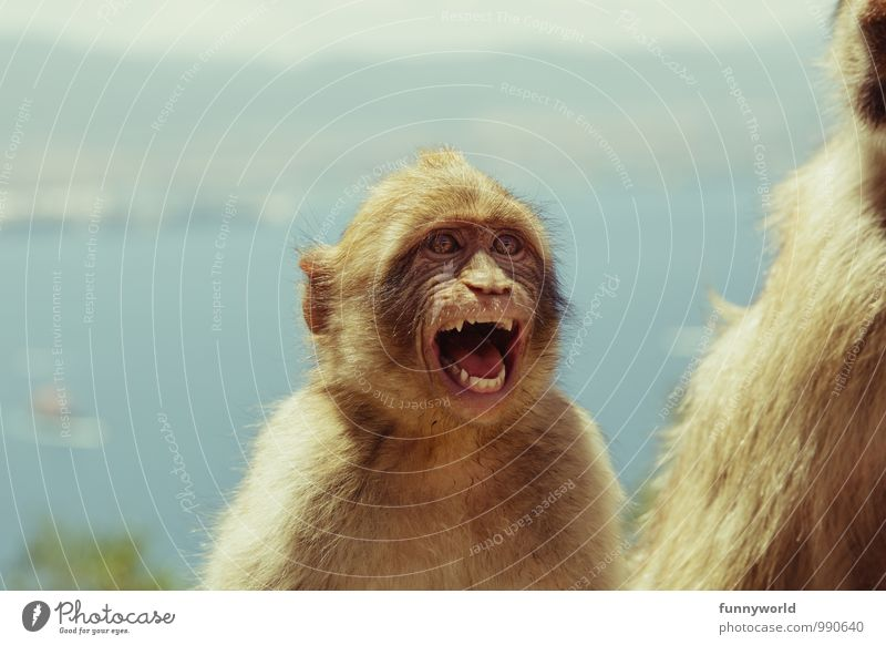 Aaaaah! I'm freaking out! Face Animal Pelt Monkeys Barbary ape Fight Laughter Scream Romp Aggression Brash Funny Rebellious Crazy Anger Aggravation Grouchy