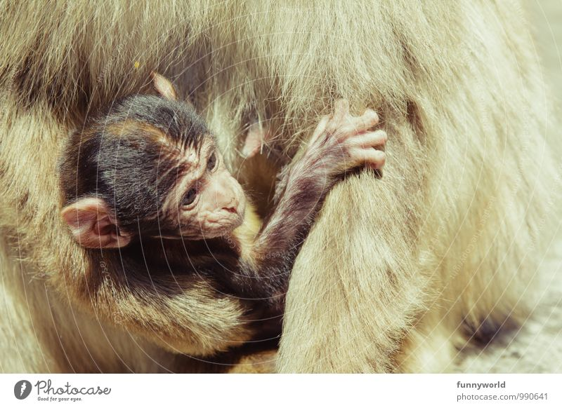 Tragling Monkeys Barbary ape Young monkey Observe Touch Carrying To hold on Ear Beautiful Cute Safety (feeling of) Animal protection Appease Baby Helpless