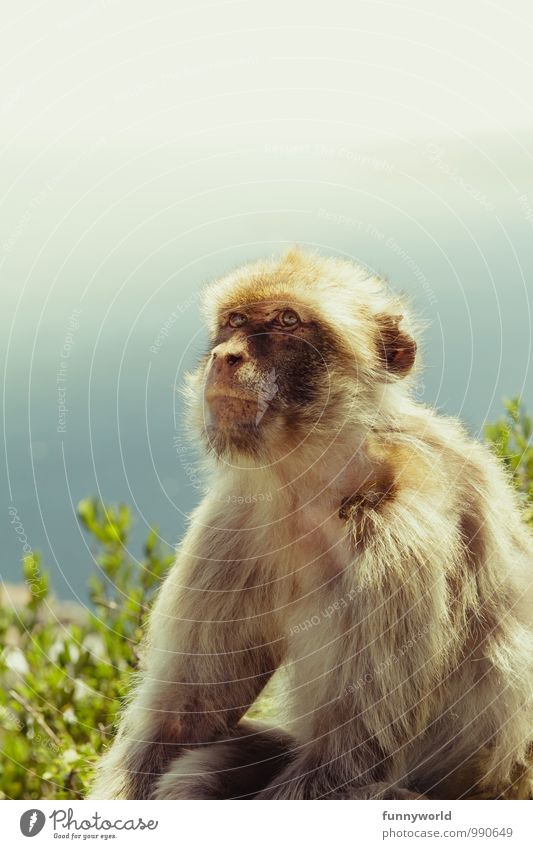 monkey eye Wild animal Observe Cuddly Vacation & Travel Gibraltar Barbary ape Monkeys Pelt Animal Face Eyes Illuminate Innocent Animal protection Earnest Sit