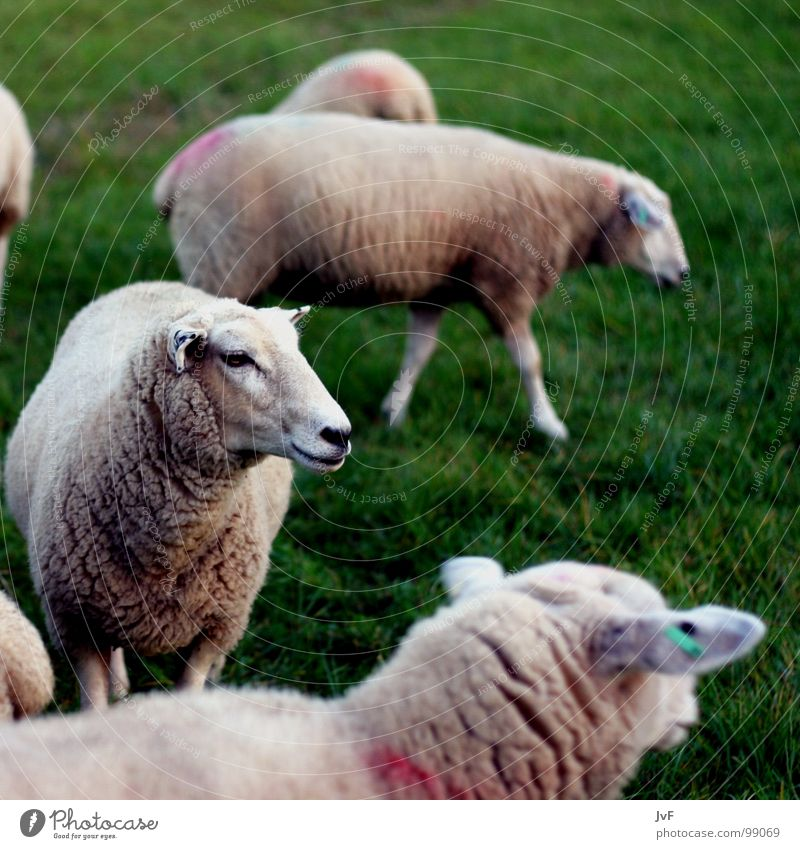 1 sheep, 2 sheep, 3 sheep Sheep Meadow Wool Animal Dream Green Mammal Pasture herds of animals Numbers Lawn cattle for slaughter slaughter animal