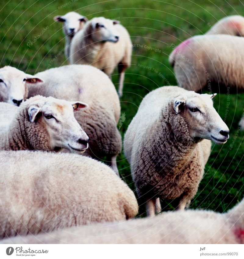 many sheep Sheep Meadow Green Grass Animal Wool Mammal Pasture cattle for slaughter schlatter herds of animals