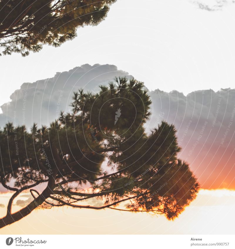 transiently Nature Plant Air Clouds Sunrise Sunset Tree Coniferous trees Stone pine Exceptional Threat Wild Gray Orange Pink Red Dawn Dusk Burn Fiery