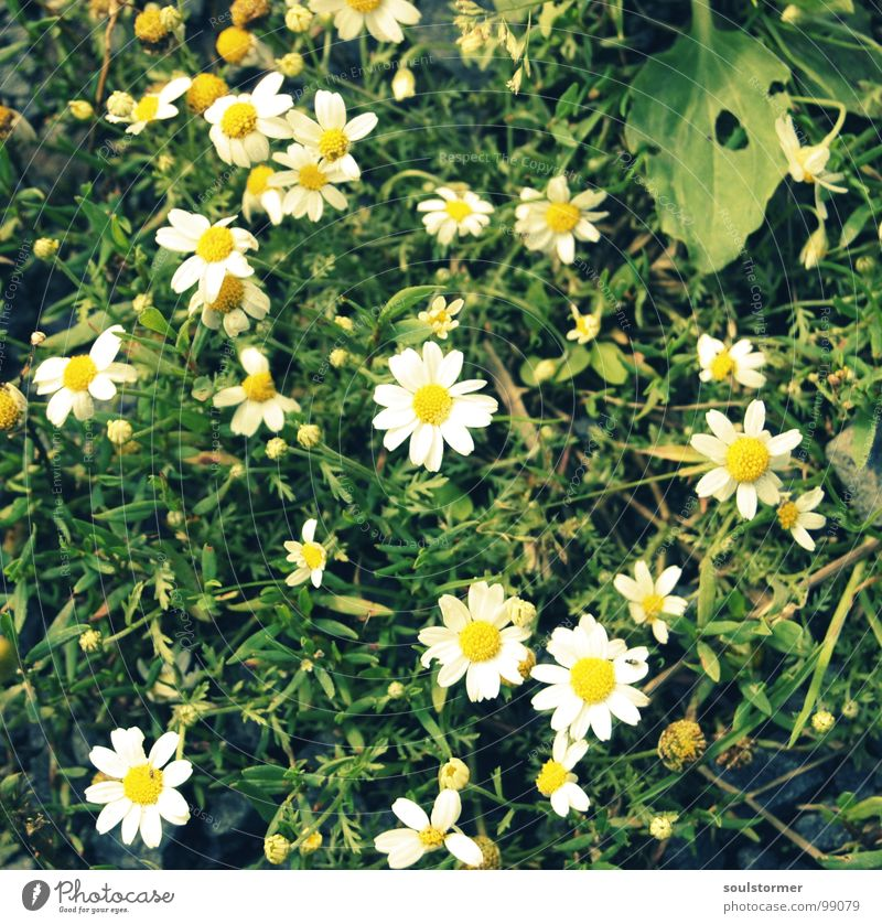 Nature Beautiful White Flower Green Plant Yellow Relaxation Meadow Blossom Grass Lawn To go for a walk Peace Middle