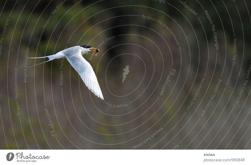 Forster tern White Animal Black Yellow Movement Eating Flying Bird Orange Wild Elegant Wild animal Success Smiling Driving