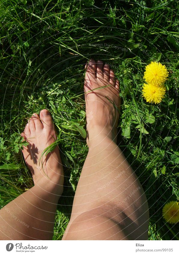 Bare legs in the green meadow with dandelion in summer lowen tooth Yellow Summer Legs spring flowers Plant bleed To enjoy Relaxation Meadow Grass Barefoot