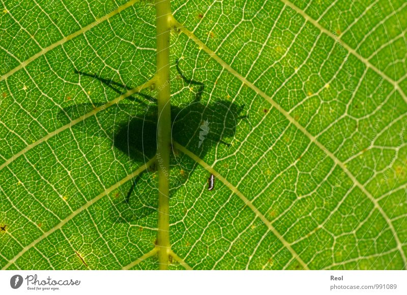 On the other hand. Walnut Walnut leaf Rachis Leaf shade Leaf filament Underside of a leaf Forest Insect Fly 1 Animal Observe Movement Flying To feed Crawl