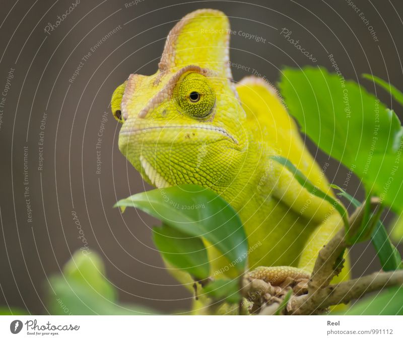 chameleon Zoo Plant Branch Leaf Animal Wild animal Animal face Chameleon 1 Observe Crouch Exotic Life Indifferent Yellow Green Brown Calm Watchfulness Captured