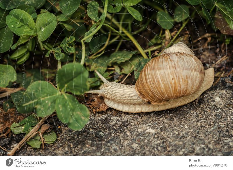 always nice and slow Environment Nature Animal Summer Lanes & trails Snail 1 Natural Clover Creep Break Slowly Vineyard snail Subdued colour Exterior shot