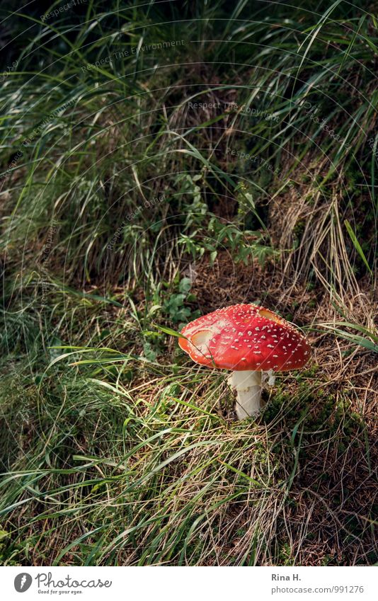 solitaire Summer Beautiful weather Grass Natural Mushroom Amanita mushroom Poison Black & white photo Exterior shot Deserted Copy Space left Copy Space top