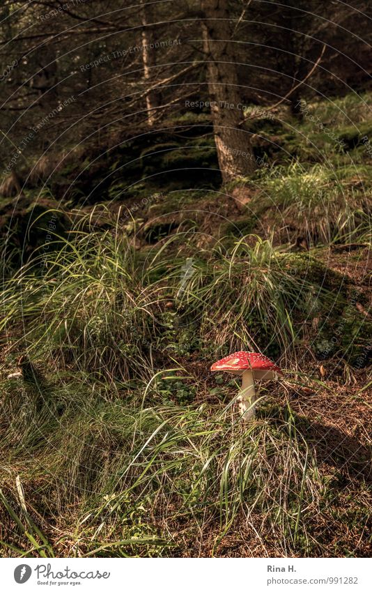 Nature Summer Landscape Forest Environment Grass Authentic Beautiful weather Mushroom Amanita mushroom