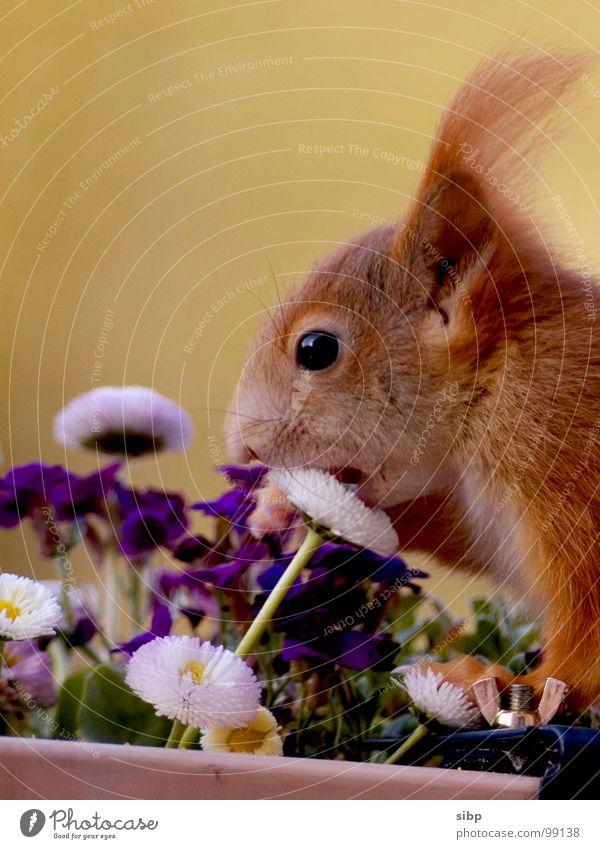 Enjoy your meal... Squirrel Sweet Cute Brave Comical Nutrition Flower Daisy Sense of taste Mammal Voracious Appetite Bite