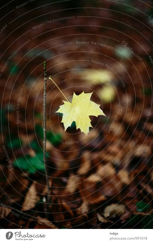 one last Nature Autumn Leaf Maple leaf Maple tree Maple branch Forest Woodground Hang Simple Brown Yellow Loneliness Uniqueness Change Limp Individual