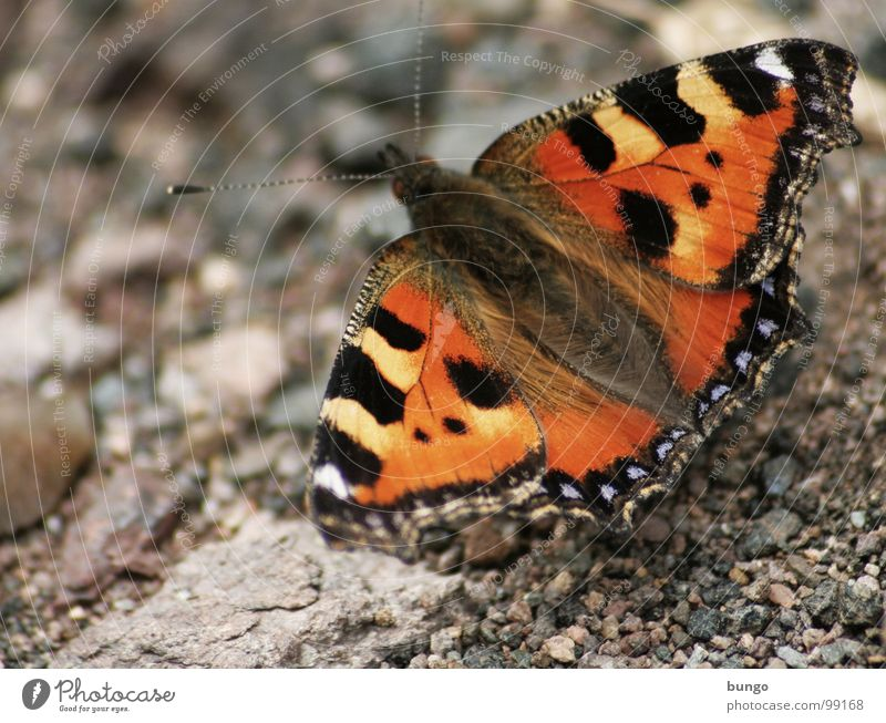 I'll let you live Butterfly Small tortoiseshell Insect Articulate animals Pattern Colouring Multicoloured Red Pebble Stone Animal Beautiful Easy Ease Feeble