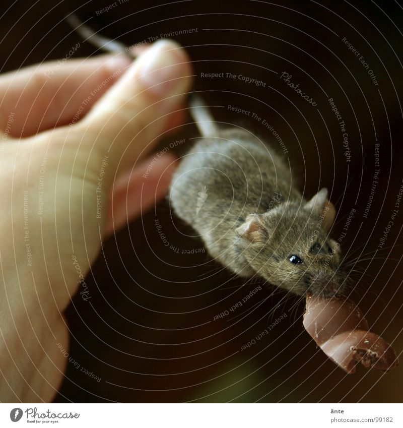 nabbed Worm's-eye view Animal portrait Candy Chocolate Hand Mouse To hold on Hunting Sweet Death Tails House mouse What a pity Tenacious Mammal Ambush