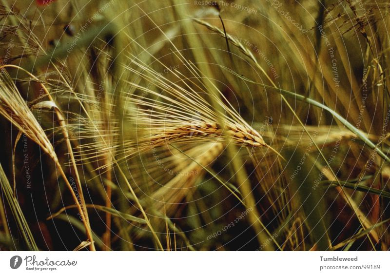 Green Plant Yellow Grass Field Earth Nutrition Grain Harvest Mature Blade of grass Home country Ear of corn Coarse hair