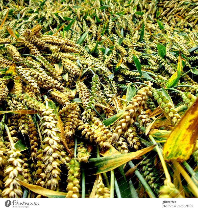 Green Summer Calm Yellow Rain Lie Field Grain Gale Harvest Thunder and lightning Cornfield Wheat Flat Fairy Barley