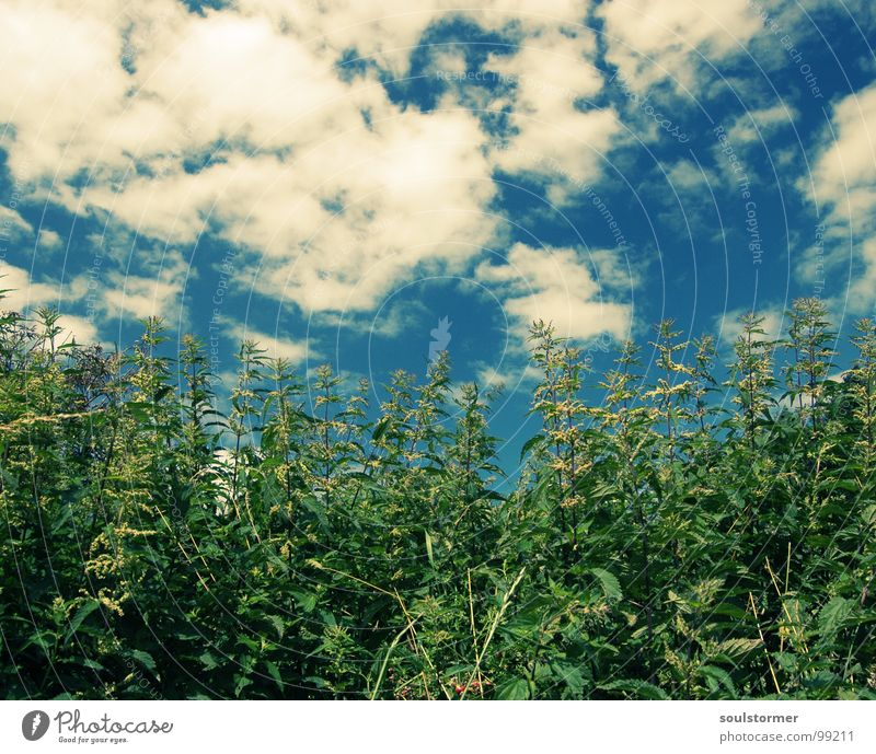 Nature Sky White Flower Green Blue Plant Playing Field Stalk Pain Burn Medicinal plant Cross processing Stinging nettle Leaf green