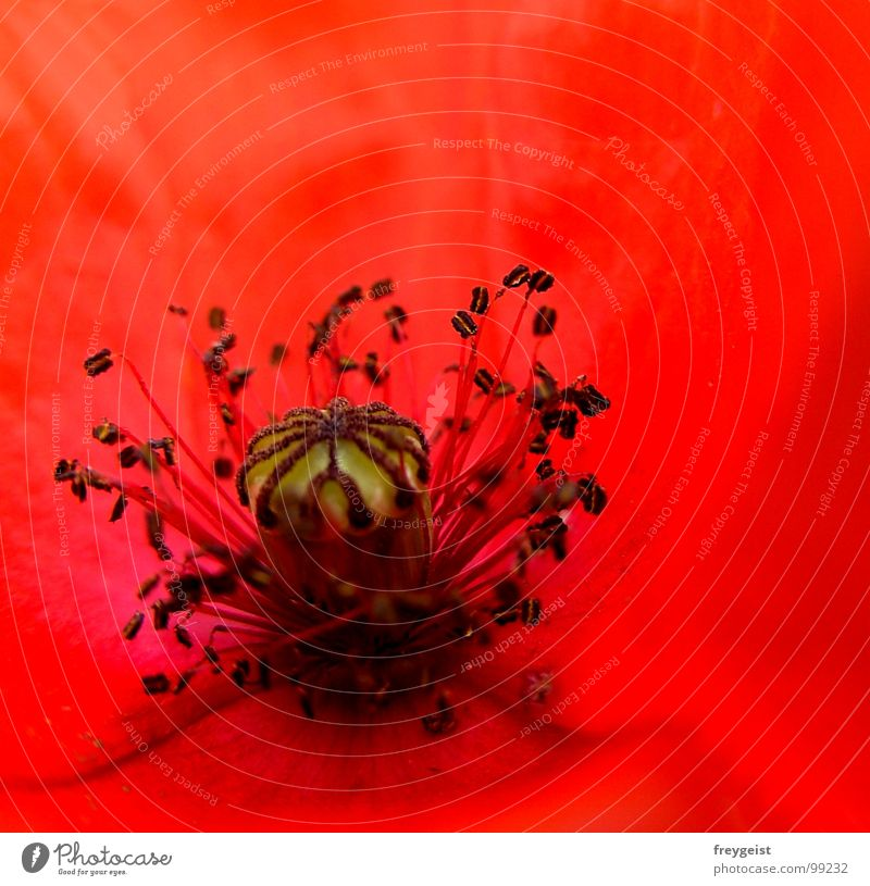 Red Passion Poppy Flower Blossom Black Plant Meadow Field Detail Character Macro (Extreme close-up) Nature