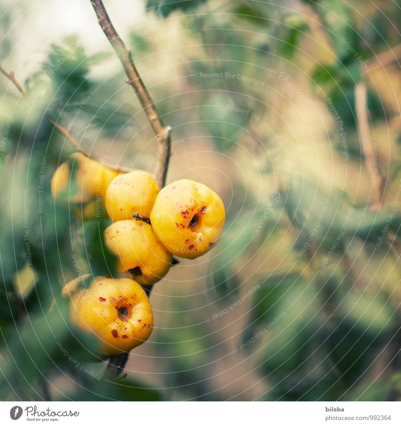 fire bush Plant Autumn Ornamental plant ornamental apples Apple Yellow Green Red Nature Garden Bushes Colour photo Exterior shot Deserted Copy Space right Day