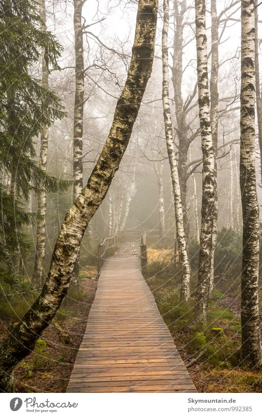 Birch trees in fog Lifestyle Joy Athletic Fitness Relaxation Meditation Leisure and hobbies Adventure Far-off places Freedom Mountain Hiking Environment Nature
